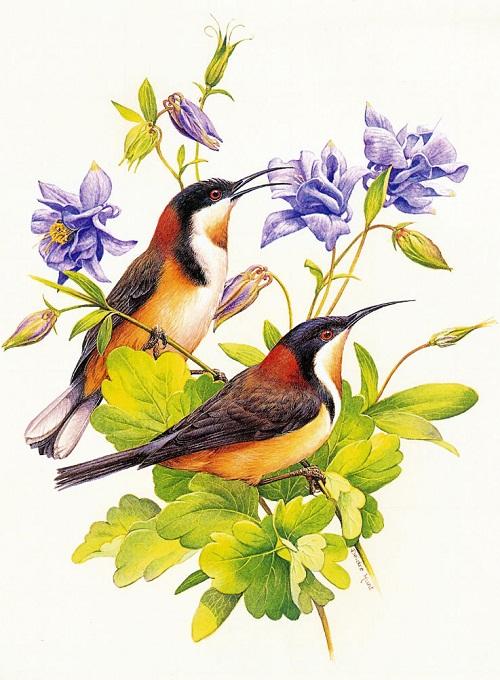 "Australiana Bird cards of ""Tuckfield's Ty-nee Tips Tea"" series, artist Deirdre Hunt"