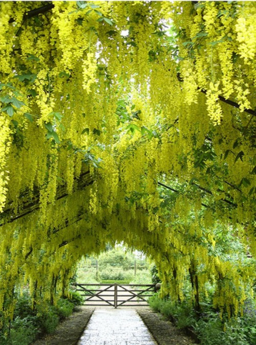 Laburnum golden chain tunnels