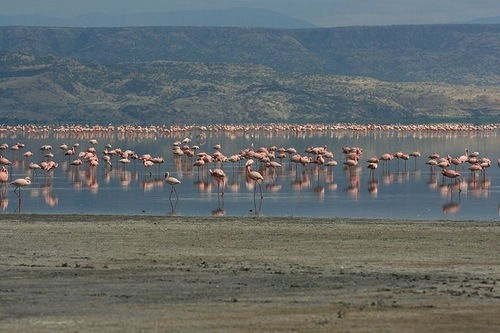 Flamingos gather on the salt lakes
