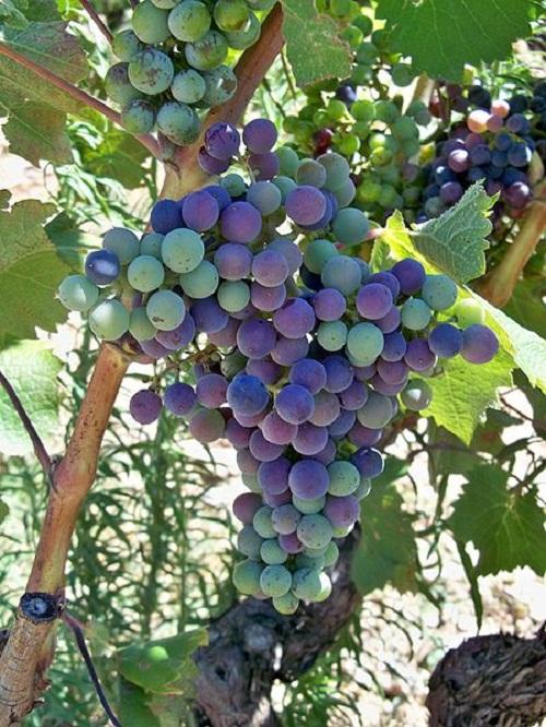 Grape inspiration