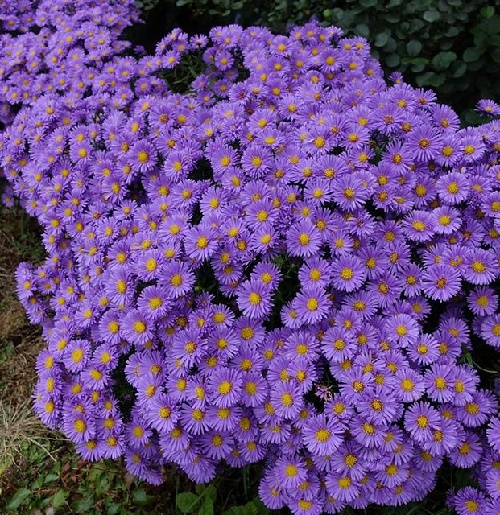 Impossible to argue with Asters for autumn color. Best in full sun and constantly damp feet. The blue is 'Lady in Blue'