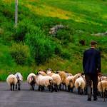 Man herding his sheep down a road near Clonbur, Lough Mask, County Galway, Ireland