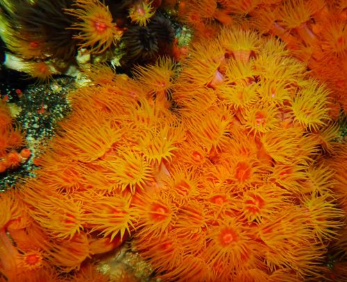 Yellow coral Tubastrea, or Sunny coral