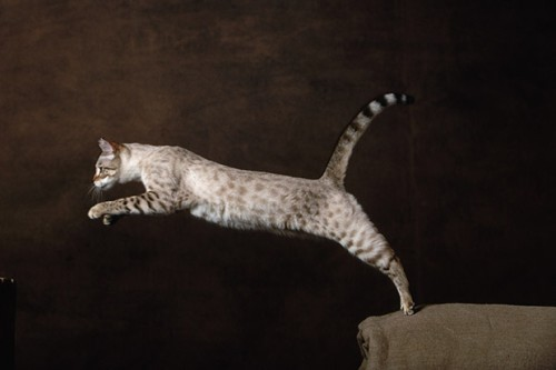 Bengal. Cost: $ 1100 - $ 4000