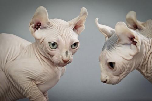 Most expensive cats. Elf cat. Cost: $ 2000-3000