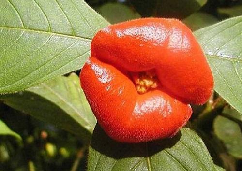 Beautiful kissing lips of Psychotria Elata