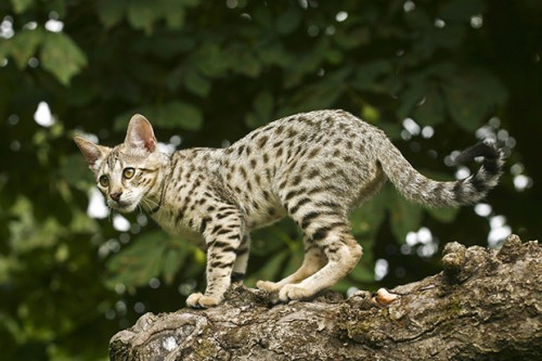 Most expensive cats. Savanna