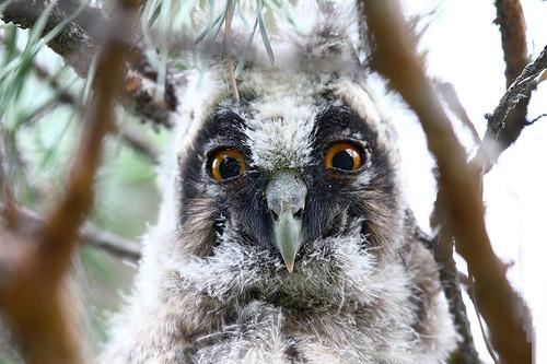 Long-eared owl by Russian amateur photographer Oleg Broskin