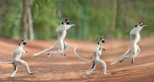 Leaping lemurs of Madagascar. A rare sifaka lemur is captured using time lapse photography as it skips across a path in Madagascar