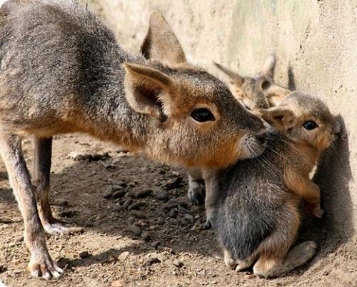 Patagonian mara born in Amsterdam zoo