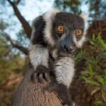 lemurs at very close proximity
