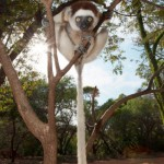 Most lemurs take no notice of tourists snapping away but these individuals certainly took an interest in the cameras