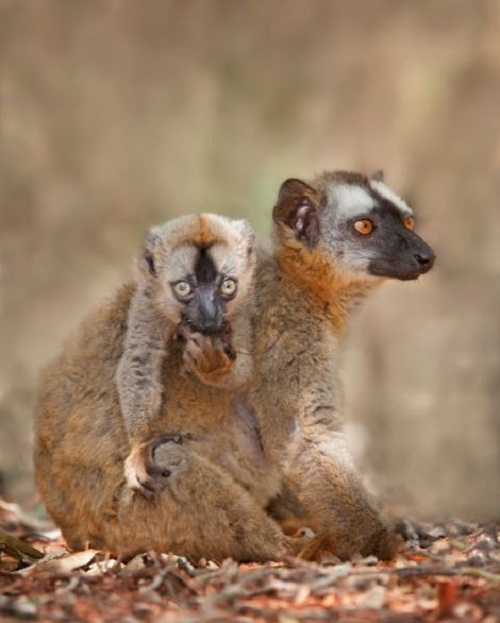 A baby brown lemur looks on as it eats some food
