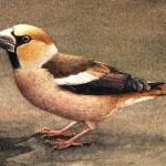 Hawfinch, aquarel, gouache