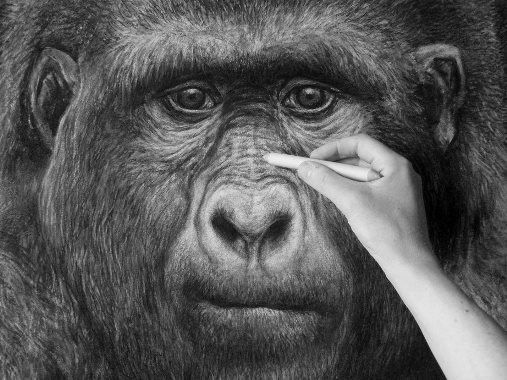 Working on a new animal for the 'extinct animal series' - The Gigantopithecus. This charcoal drawing will show the animal life size from head to toe.