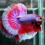 Betta fish with a tail fan