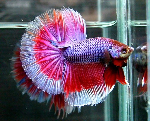 Beauty will save multicolored siamese fighting fish for Betta fish colors