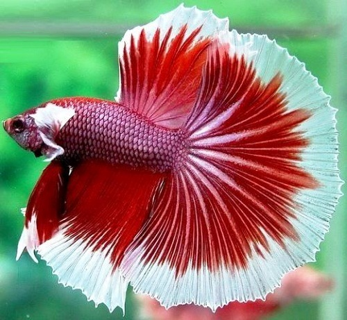 Multicolored Siamese fighting fish. red and white half moon Betta fish
