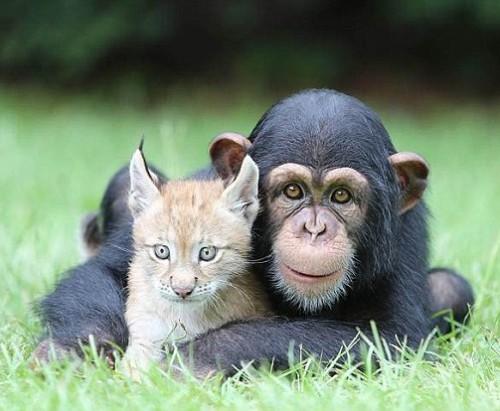 Best friends chimpanzee Varli and lynx Sutra