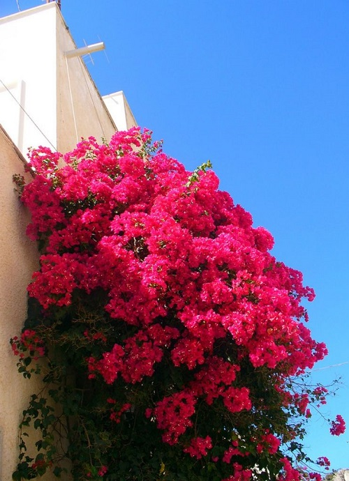 Beautiful ornamental plant Bougainvillea