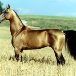 The breed is Akhal Teke and there may be only about 3,500 of them in the world.