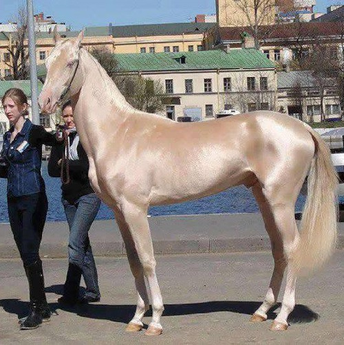 Beauty will save Akhal-Teke the most beautiful horse in ...