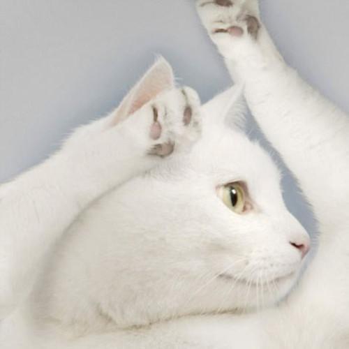 Glamour Cat calendar