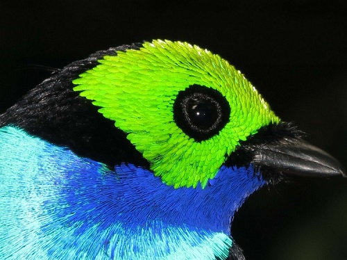 Beautiful seven-colored bird Paradise Tanager