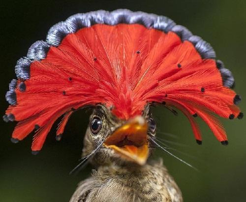 The Amazonian Royal Flycatcher (Onychorhynchus coronatus coronatus)