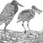 Different birds. Detailed drawings by Serbian 10 year-old graphic artist Dusan Krtolica