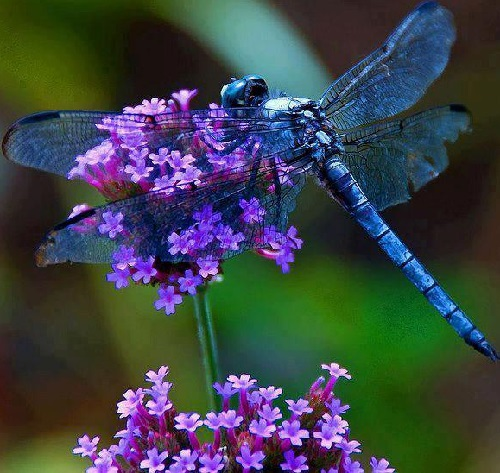 The Blue dragonfly or Pachydiplax longipennis