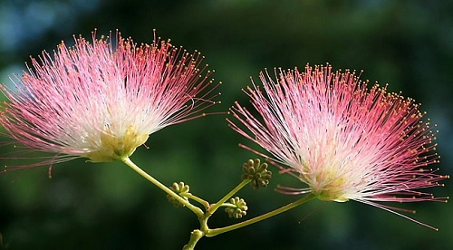 beautiful tree Albizia julibrissin