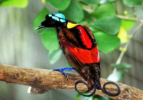 The Wilson's Bird-of-Paradise
