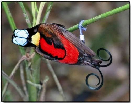 beautiful Wilson's Bird-of-Paradise