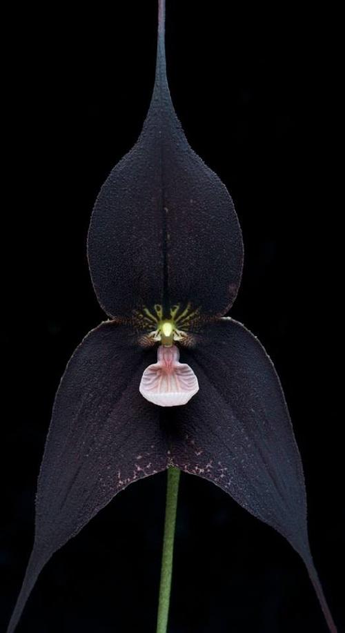 Black Orchid beautiful dream