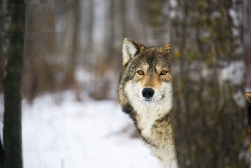 Slavic calendar 2015 White Owl year. Hiding Lute (Wolf)