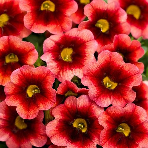 Beautiful Calibrachoa
