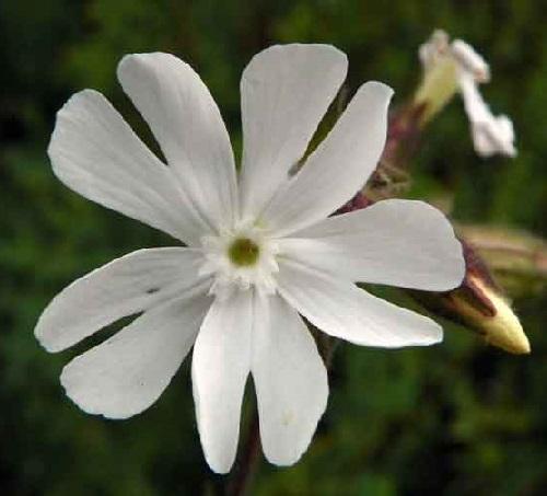 Campion (Silene Tomentosa)