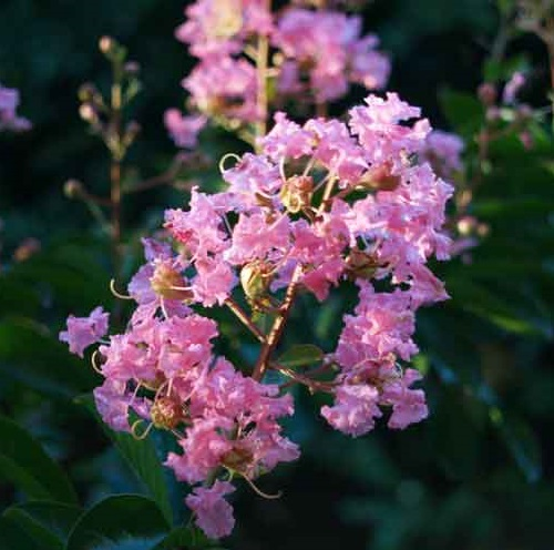 Heptacodium Miconiodes, also known as the Seven Sons plant