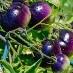 Lemato – tomatoes with lemon scent