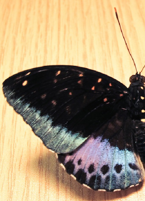 Lexias pardalis – Rare half male and half female butterfly (left)