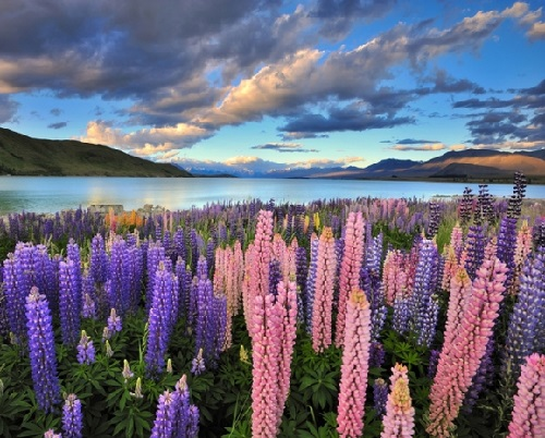Lupinus perennis, also known as wild perennial lupine, wild lupine, blue lupine, Indian beet, or old maid's bonnets, is a medicinal plant