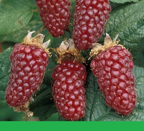 Little-known fruit and vegetable hybrids