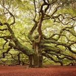 Angelic Oak, South Carolina