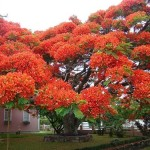 Flame tree Delonix regia in full bloom in Brazil