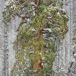 The world's third-largest sequoia, California