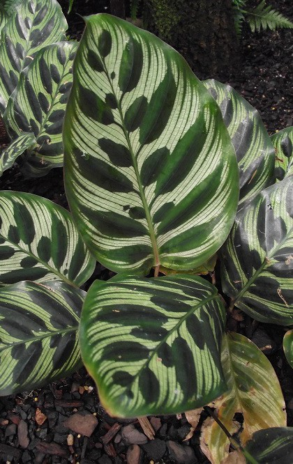 Calathea is considered a symbol of happiness and guardian of domestic bliss
