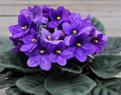 In the house where the Violet flower grows, there are less quarrels. Also, many believe this flower is a symbol of eternal love. Plants that bring love