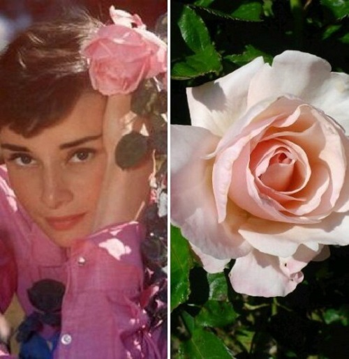 Beauty will save viola beauty in everything audrey hepburn rose mightylinksfo Choice Image