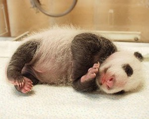 Touching image of just born panda